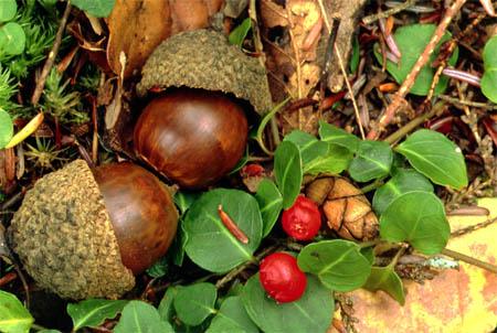 [Image: acorns.jpg]